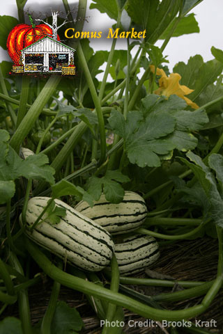how to grow delicata squash on a trellis